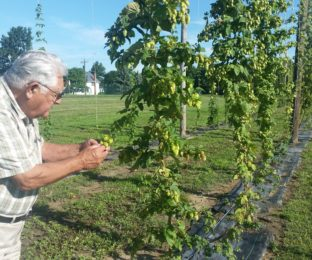 Joe Hirzel checks out the hops growing at the Agriculture Incubator Foundation north of Bowling Green.